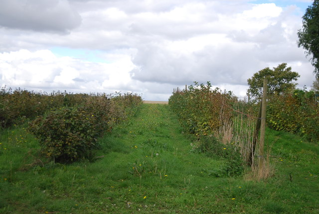 Fruit bushes, Akenham Hall