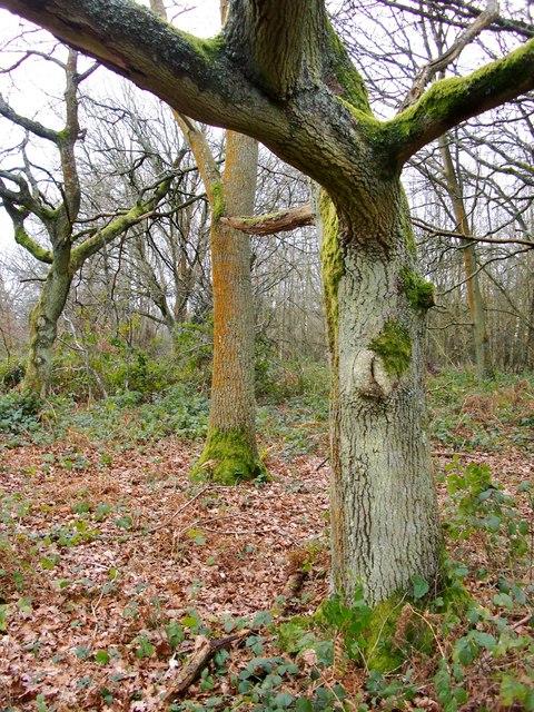 Woodland, Ranmore Common