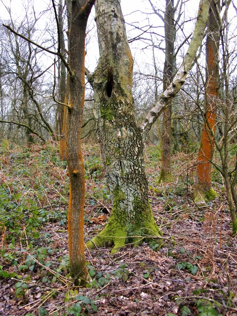 Lichen covered trees, January, Ranmore Common
