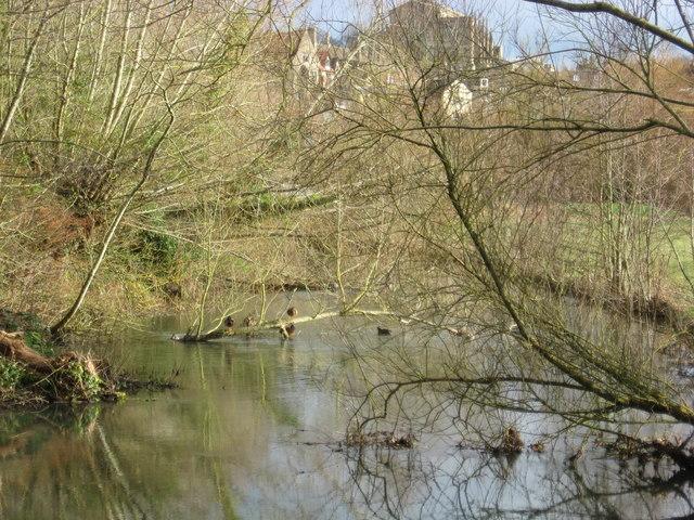 Mallard ducks enjoying an early spring day in Malmesbury