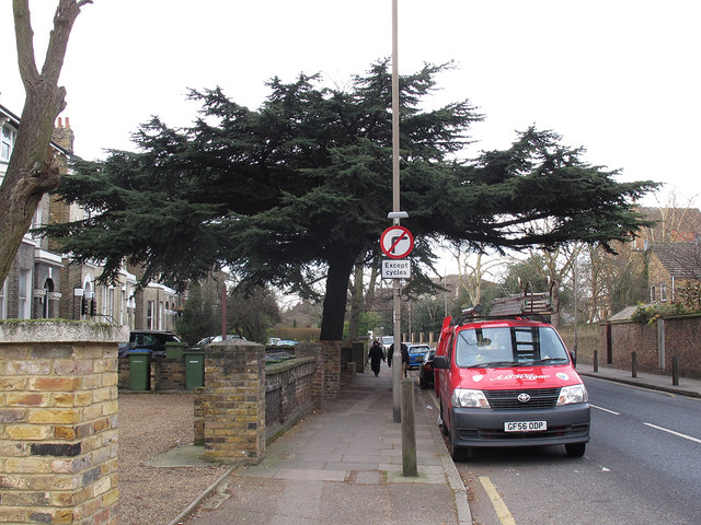 The Blackheath cedar