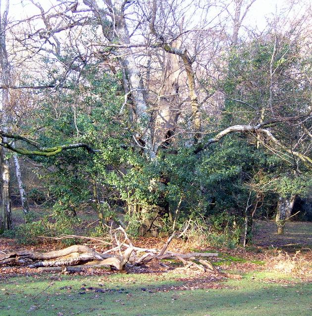 Dead wood at Brockishill