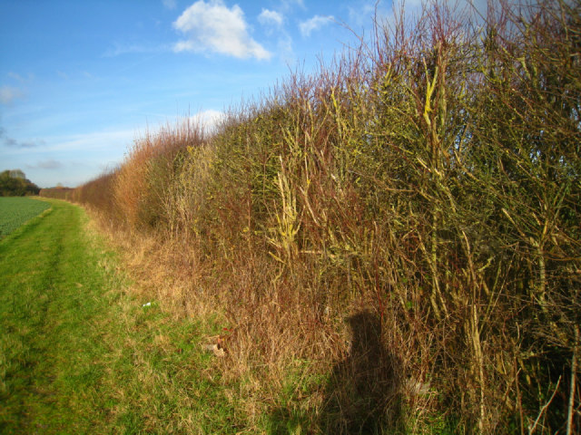 A healthy high hedge