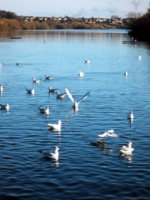 Gulls on Fairburn Ings