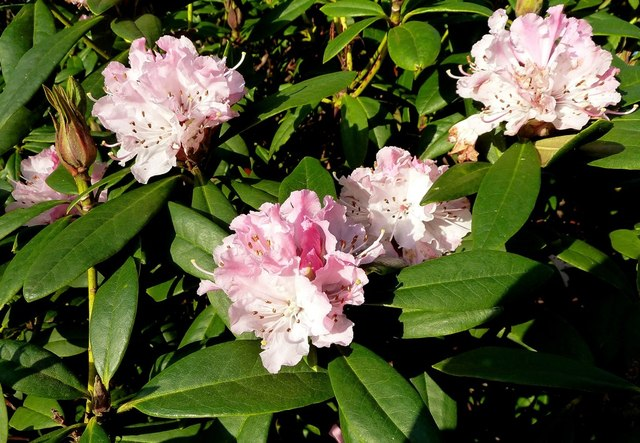 January Rhododendrons