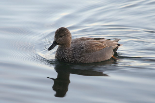 Gadwall on Ivy Lake