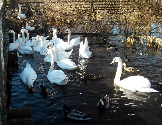 Swans at Fairburn