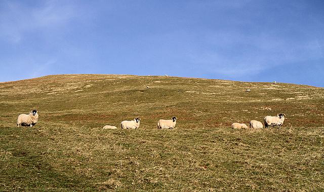 Sheep on Craig Hill