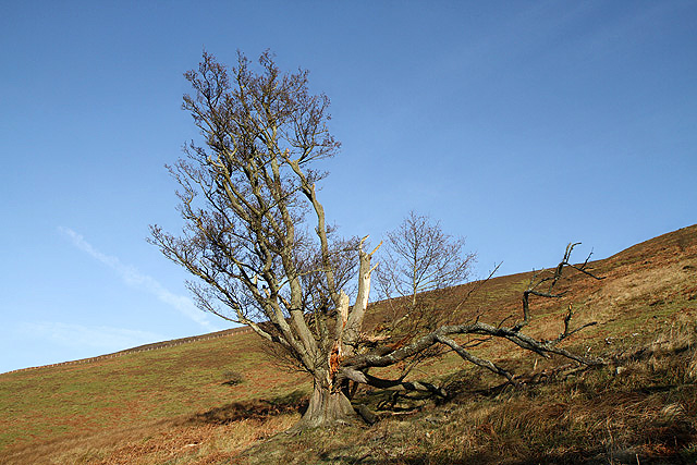 A damaged tree on Foulshiels Hill