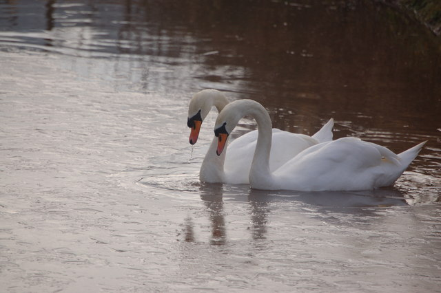 Mute Swans breaking ice at Great Woodend Farm pond