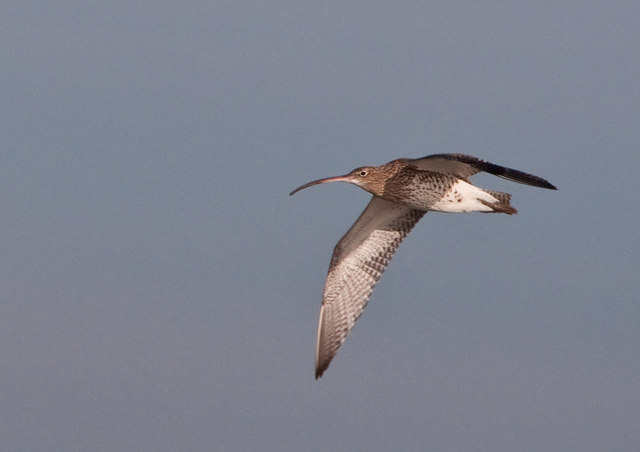 Overflying Curlew - Goldcliff
