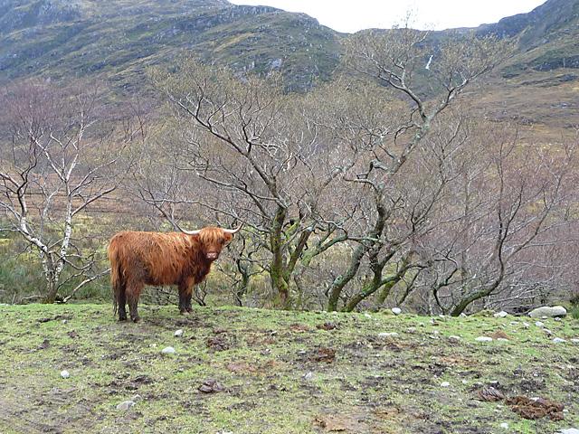 Cow in Glen Elchaig