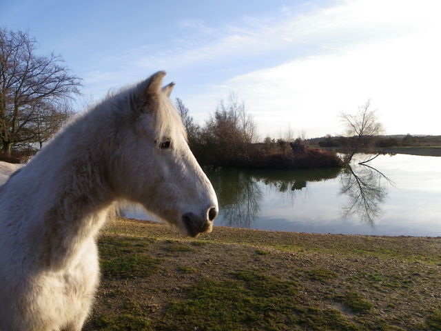 New Forest pony at Cadman's Pool