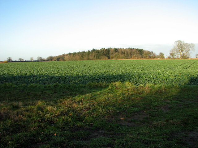 Oilseed rape crop near Round Covert, Swaffham