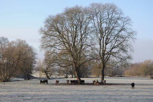Cattle and trees