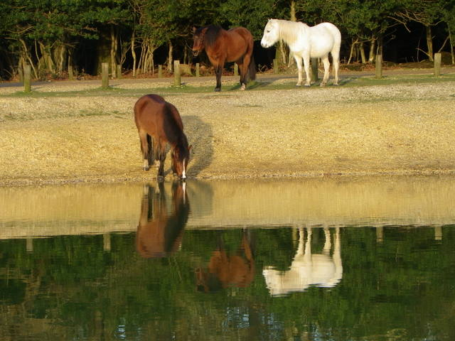 New Forest ponies at Cadman's Pool