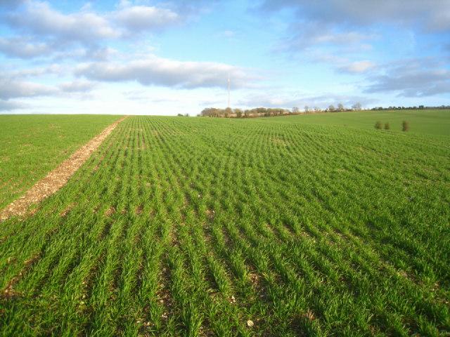 Winter wheat - Stubbington Down
