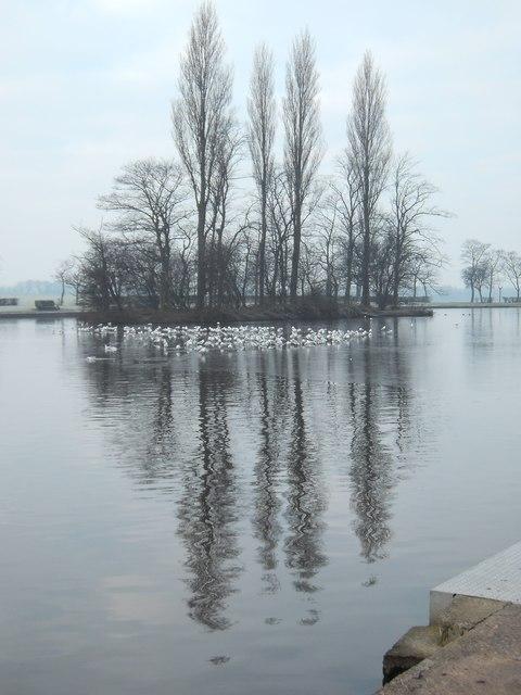 Gulls on Ice at Pontefract Park