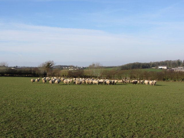 Sheep near Llanblethian