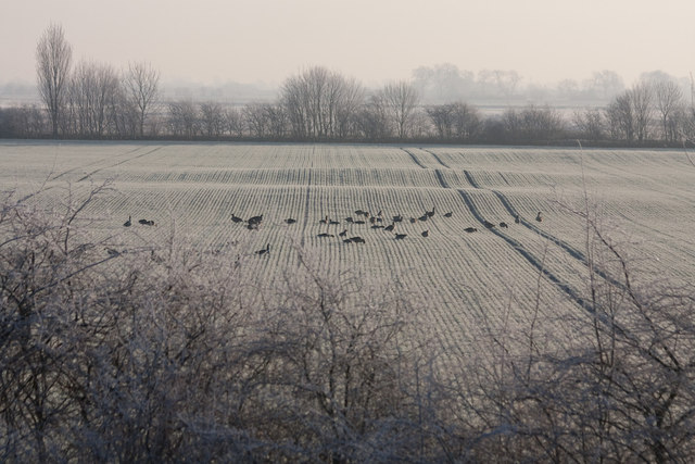 Geese in frosty field
