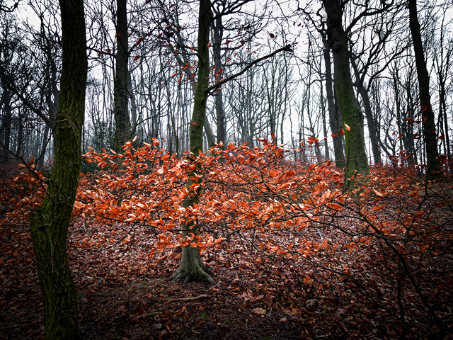 Beech leaves, Mill-Moor Heights
