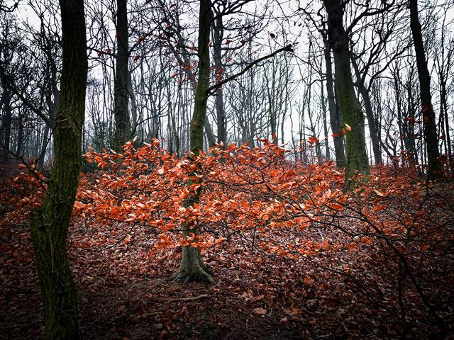 Beech leaves, Mill-Moor Heights