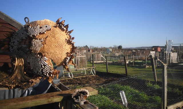 Allotments and Dead Sunflower
