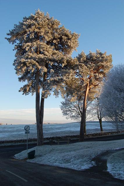 Frosty Scots Pines Enstone