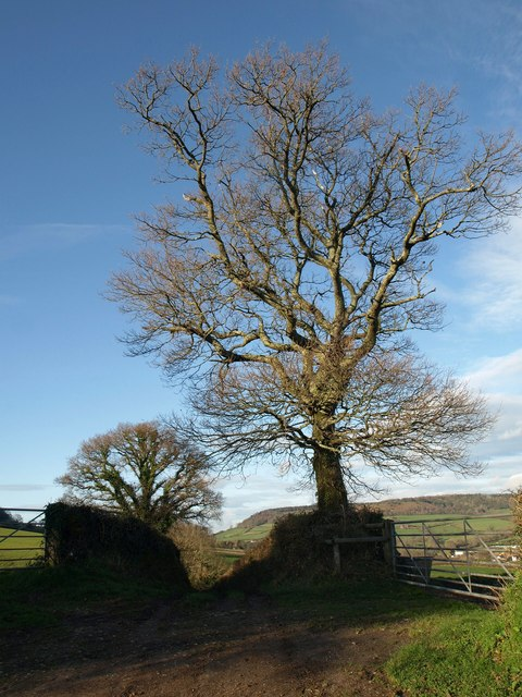 Beech tree by Higher Greenway Lane