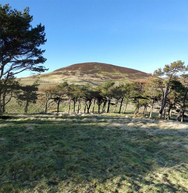 Scots Pine - Castlelaw