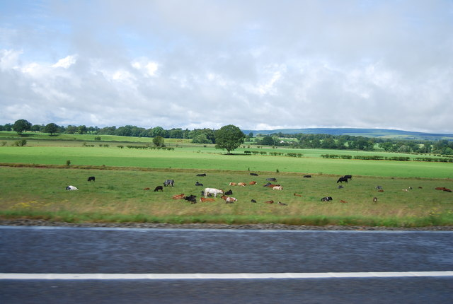 Cattle grazing by the A74(M)