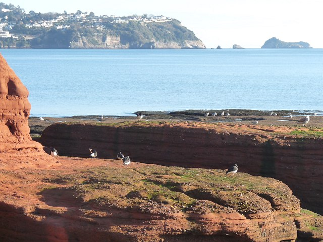 Birds at the base of Hollicombe Head