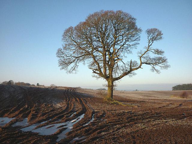 Tree in field near Holm Beck