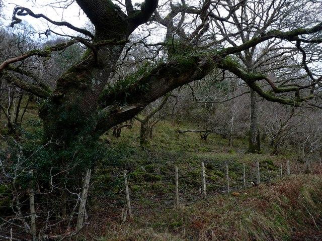 Old oak at Druim na Claoidh