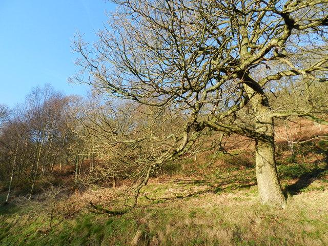 Oak tree on the slope of Kinder Bank Wood