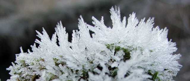Frost on Branch