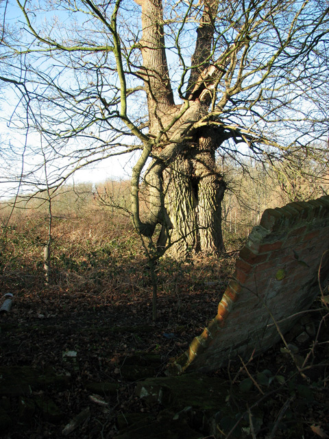 Gnarled old tree on the edge of Easton Park