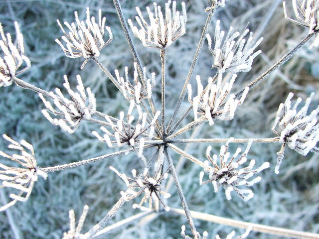 Hogweed in Winter