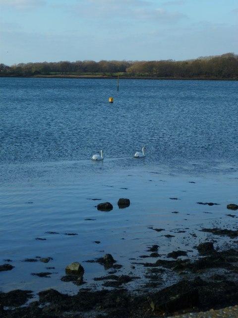 Swans near Chichester Marina