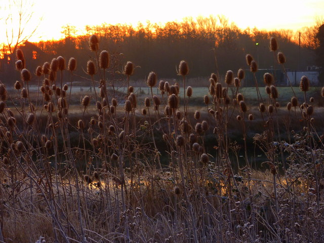 Teasels by a pond next to Oare Creek