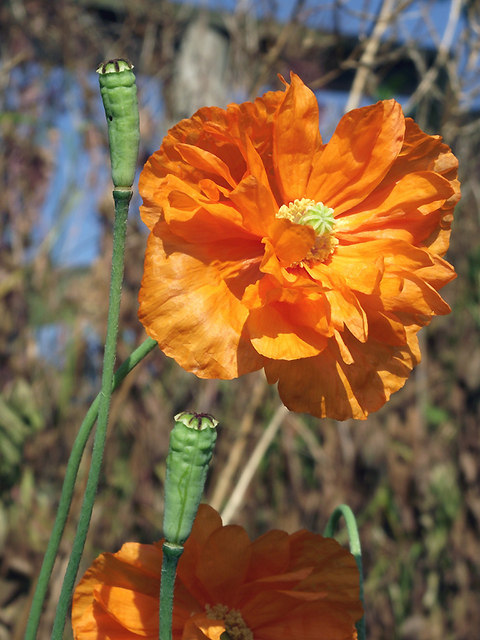 Orange poppy by the canal at Market Drayton, Shropshire