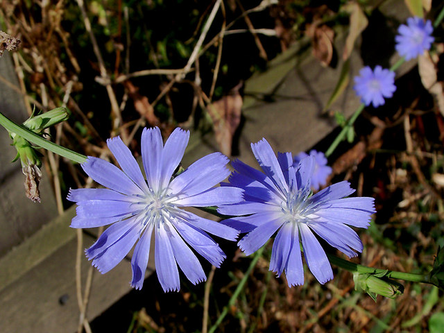 Chicory by the canal at Market Drayton, Shropshire