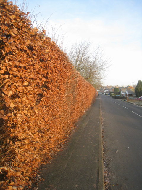 Hedge along Kennet Way