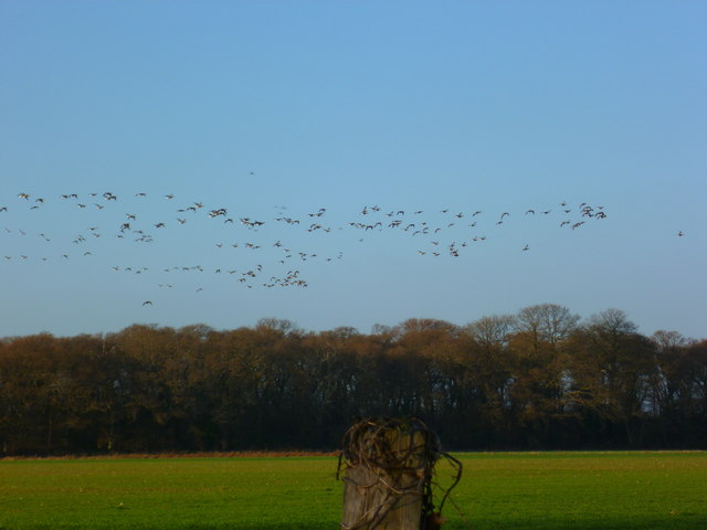 Overwintering Brent geese in flight near Itchenor