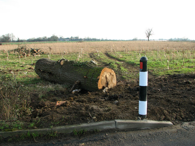 Remains of a recently felled tree by Manor Farm