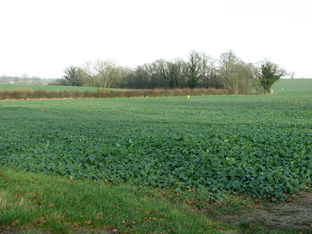 Oilseed rape crop by Fisk's Farm