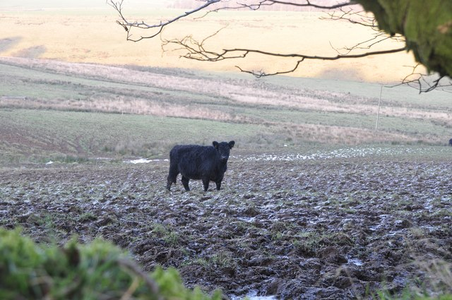 Exmoor : Cow in a Field