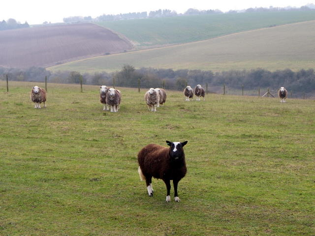 Sheep, Coombe Bissett Nature Reserve
