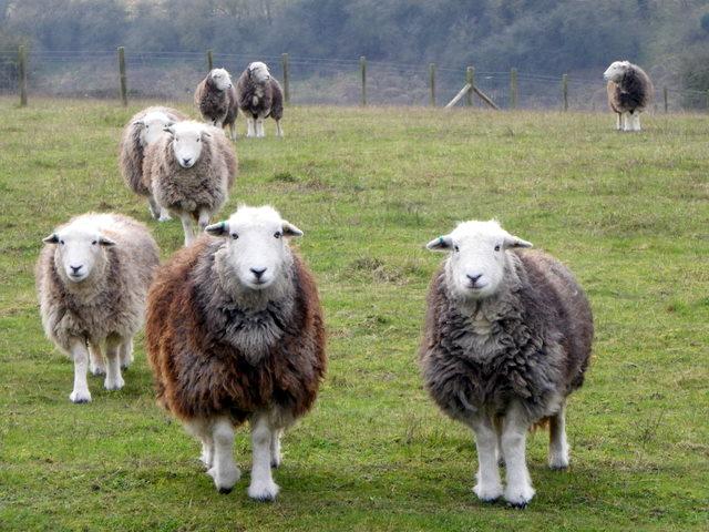 Herdwick sheep, Coombe Bissett Down