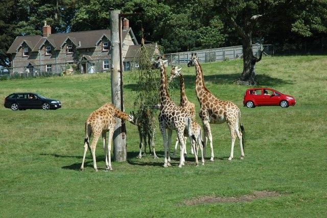 Longleat - Giraffes